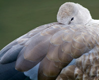 Blue Winged Goose