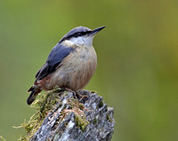 Nuthatches (Sittidae)