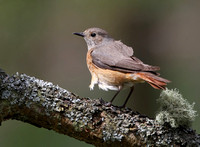 Redstart female