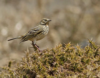 Pipits and wagtails (Motacillidae)