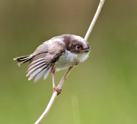 Long Tailed Tit Juvenile
