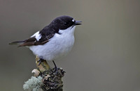 Pied flyctcher