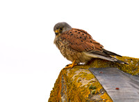 Kestrel male