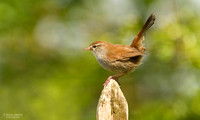 Cetti`s warbler